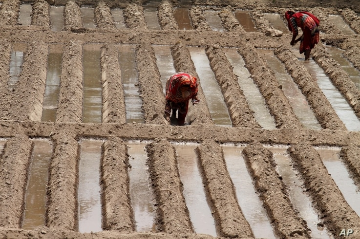 Pakistani female farmers plant seeds for vegetables in Lahore, Pakistan, June 13, 2014.