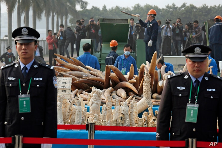 Customs officers stand guard in front of some illegal ivory during destruction in Dongguan, southern Guangdong province, China Monday, Jan. 6, 2014. China destroyed about 6 tons of illegal ivory from its stockpile on Monday, in an unprecedented move ...