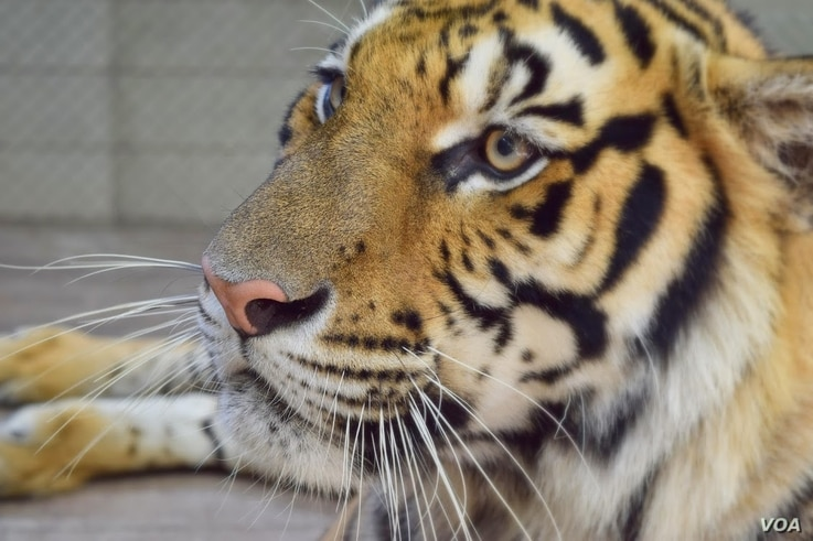 A tiger in captivity at a tourist attraction near Chiang Mai, Thailand.