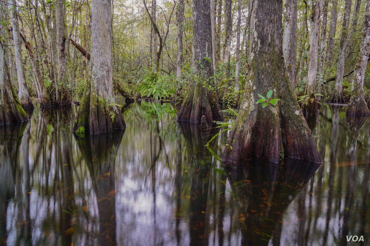 Water flows slowly through cypress sloughs, like the Sweetwater Slough in Big Cypress National Preserve.