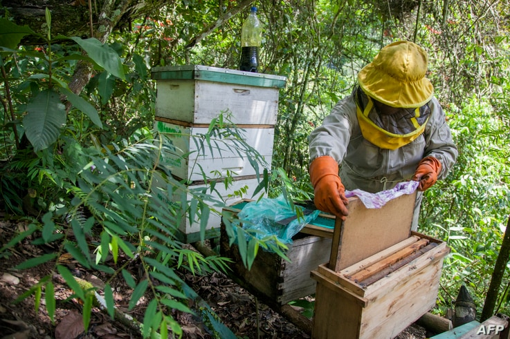 Nancy Carlo Estrada works with her bees outside of Coroico, Bolivia, Dec. 20, 2018.