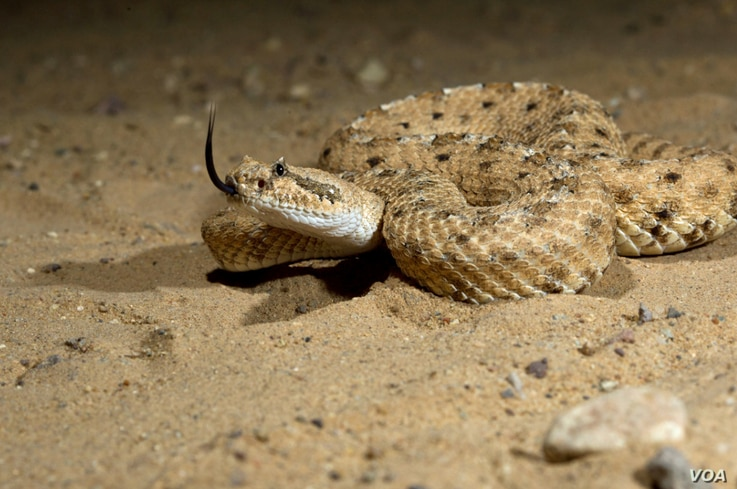 A sidewinder rattlesnake moves with little effort up sandy inclines (Tim Nowak)