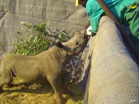 A ranger feeds a baby black rhino orphaned when poachers killed its mother on a South African game reserve