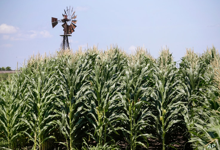 FILE - A field of corn grows in front of an old windmill in Pacific Junction, Iowa, The government shutdown could complicate things for farmers lining up for federal payments to ease the burden of President Donald Trump's trade war with China.