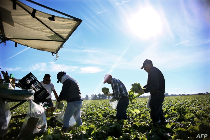 FILE - Mexican farmworkers are seen harvesting lettuce in a field outside of Brawley, California, in the Imperial Valley, Jan. 31, 2017.