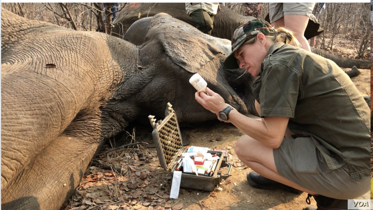 A Veterinarian Doctor works on a spiked elephant, Zimbabwe. (C. Mavhunga for VOA)