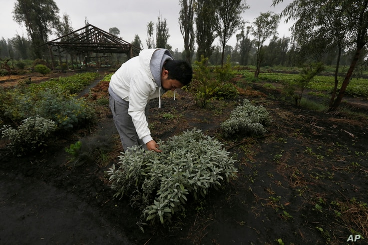 """Ichiro Kitazawa, a chef at the Japanese restaurant Rocoi, inspects herbs on a floating garden known as a """"chinampa"""" in Xochimilco in Mexico City, July 13, 2017."""
