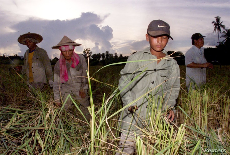 FILE - Thai farmers and Myanmar migrant laborers are seen working the ricefields near the Thai town of Maesot, bordering Myanmar. Between 1.4 million and four million citizens of Myanmar are estimated to work in Thailand .