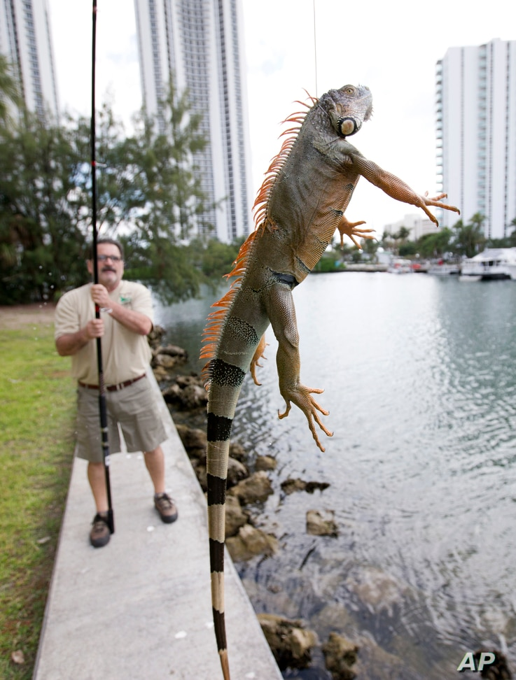Trapper Brian Wood uses a fishing pole with a wire attached to snare an iguana behind a condominium in Sunny Isles Beach, Fla., Feb. 9, 2017.  Perched in trees and scampering down sidewalks, green iguanas are so common across area suburbs that many s...