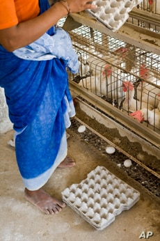 In India, 80 percent of egg production takes place in battery cages, small wire pens which animal welfare advocates say barely give hens enough room to raise their wings.