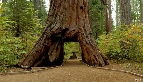 The iconic giant sequoia called the Pioneer Cabin was toppled by a strong storm. (Handout / California Department of Parks and Recreation)