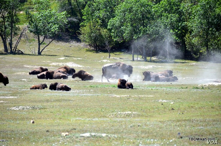 A herd of bison relax in Theodore Roosevelt National Park