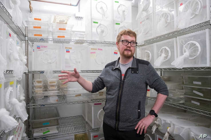 FILE - Researcher Ben Matthews speaks in a room housing mosquitoes in the Vosshall Laboratory at Rockefeller University in New York, Feb. 12, 2019.