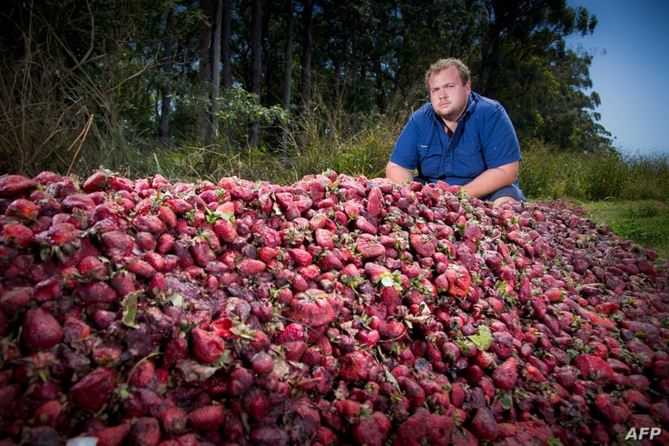 Braetop Berries strawberry farmer Aidan Young poses amid strawberries he will destroy following the nationwide needle scare, on his farm in the Glass House Mountains in Queensland, Australia, Sept. 20, 2018.