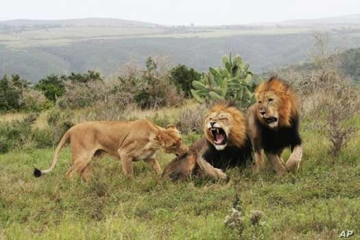These lions on Kariega Game Reserve are part of a pride that once briefly escaped from the confines of the park