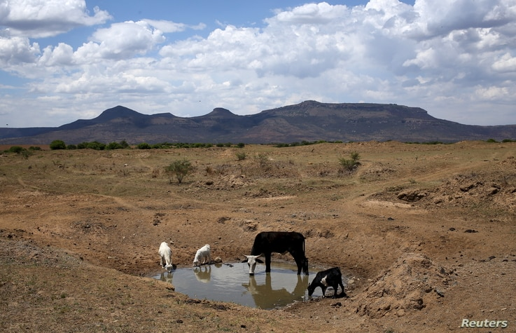 Livestock drink from a drying river outside Utrecht, a small town in the northwest of KwaZulu-Natal, Nov. 8, 2015.
