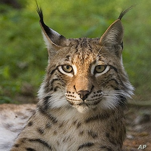 Re-wilding populated places is not a new idea. Animals such as lynx and beaver have been re-introduced in Britain.  Of course, a small lynx is one thing.  A hungry lion is quite another.