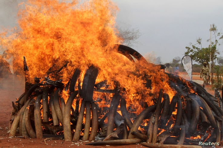 Kenya burns five tons of ivory seized from illegal poaching of elephants in Malawi and Zambia.