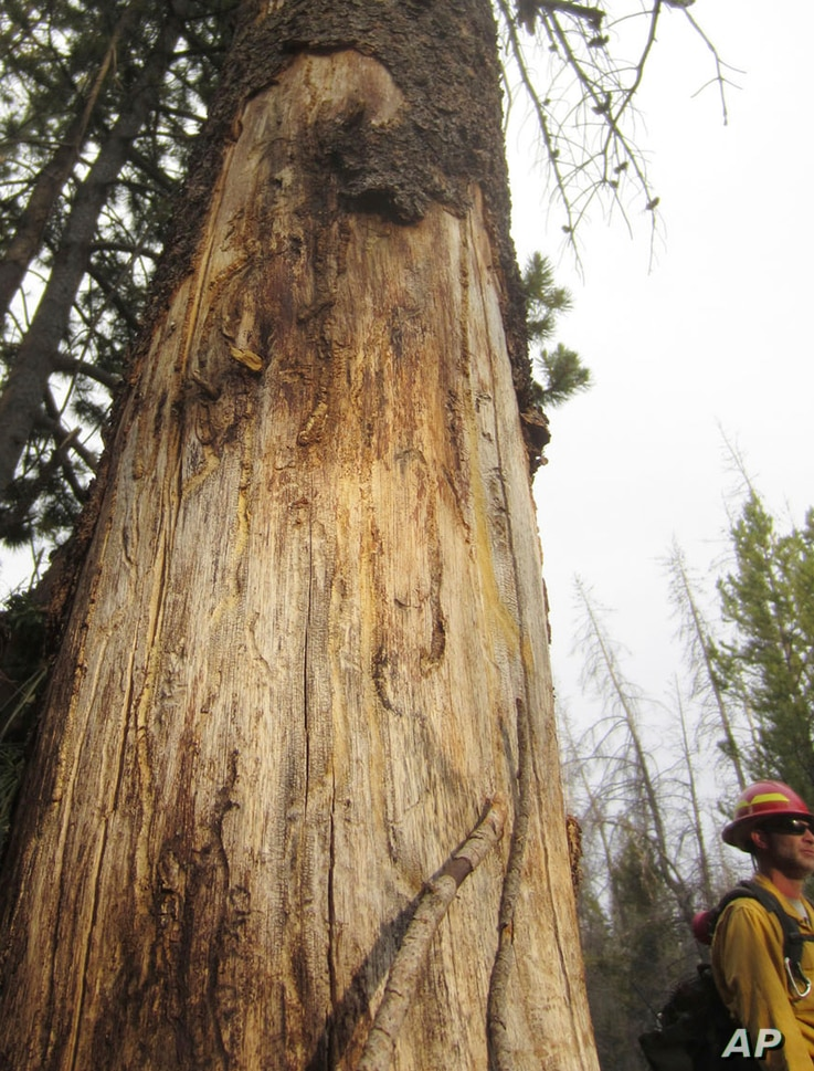 In this July 12, 2017, photo, Ben Brack, a firefighter and public information officer, stands by a tree killed by beetles at the site of a wildfire locally called the Keystone fire, near Albany, Wyo.