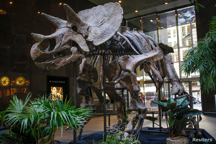 "The skeleton of a Chasmosaurine Ceratopsian is displayed as part of the ""Montana Dueling Dinosaurs & Distinguished Fossils"" collection at Bonhams auction house in New York, Nov. 14, 2013."