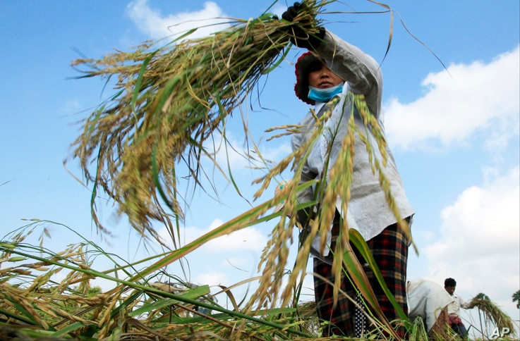 A Cambodian farmer harvests rice in a paddy on the outskirts of Phnom Penh, Cambodia, Dec. 11, 2015. The national government said it is directing more support to women farmers.