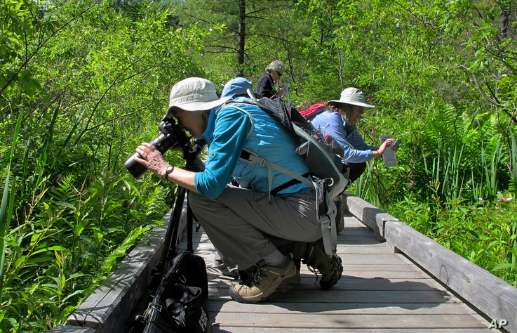 Visitors photograph rare wild pink and white showy lady's slippers orchids in bloom at the Eshqua Bog in Hartland, Vermont, June 22, 2017.