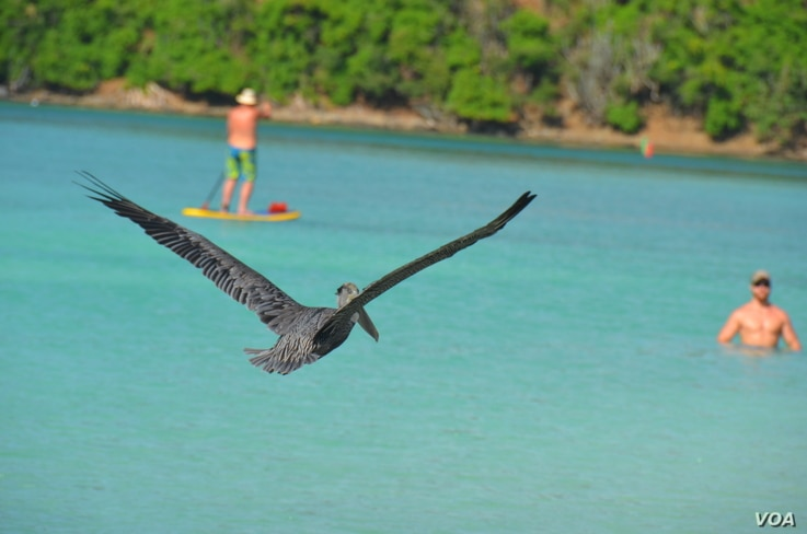 Pelicans are found on all continents except Antarctica.