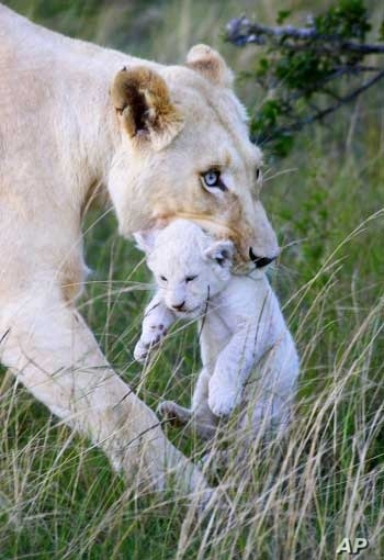 White lions recently successfully bred in the wild in the Eastern Cape