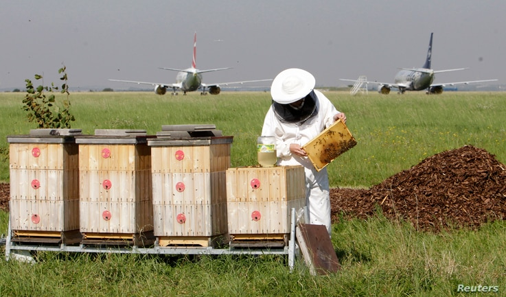 Beekeper Roman Kuttelwascher checks a honeycomb from a beehive at Vaclav Havel Airport in Prague September 6, 2013. Kuttelwascher is an amateur apiarist and works at the airport as an airport technician. Honey produced by the bees are checked for its...