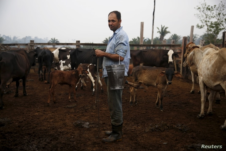 Edivaldo Fernandes Oliveira stands next to his cows before milking them in the village of Rio Pardo next to Bom Futuro National Forest, in the district of Porto Velho, Rondonia State, Brazil, Sept. 1, 2015.