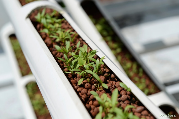 Organic cilantro seedlings sprout from growing towers that are primarily made out of polyvinyl chloride pipes at Citiponics' urban farm on the rooftop of a multi-story garage in a public housing estate in western Singapore, April 17, 2018.
