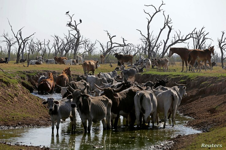 Cows stand in a saltwater pond to refresh themselves at the Agropil ranch in Boqueron, Paraguay, Aug. 14, 2016.
