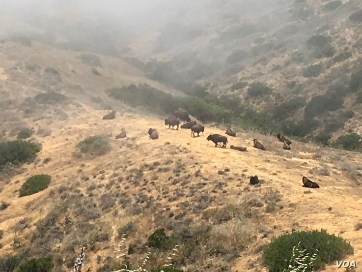 At one time, the bison of Catalina Island, pictured here as fog rolls in, numbered as many as 600. Since then, almost 500 have found new homes on Native American reservations.