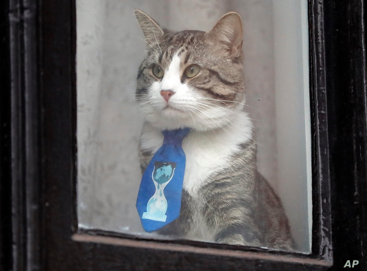 A cat believed to be owned by WikiLeaks founder Julian Assange wears a tie as it looks out of a window at the Ecuadorian embassy in London, Jan. 26, 2018.