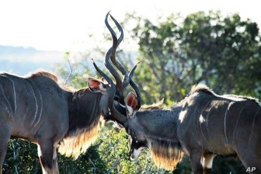 Conservationists in South Africa's 'Albany Hotspot' region are also protecting the kudu - one of the region's indigenous animals and the biggest OF African antelope