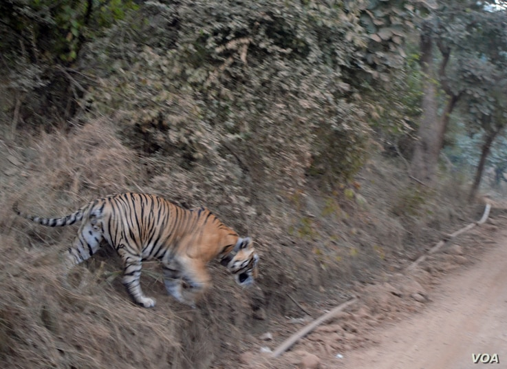 Tigers were reintroduced in the Sariska Tiger Reserve in Rajasthan India after the sanctuary lost all its tigers to poachers, (Anjana Pasricha/VOA).
