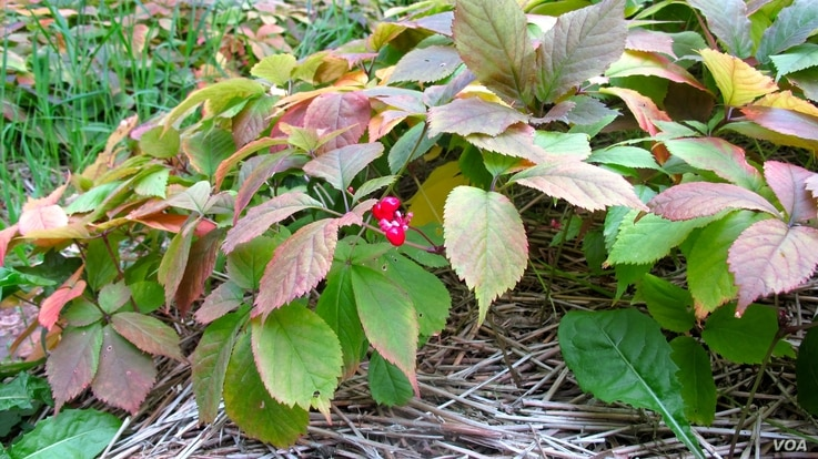Ginseng berries ripen to a bright red by September in north-central Wisconsin. (C. Guensburg/VOA)