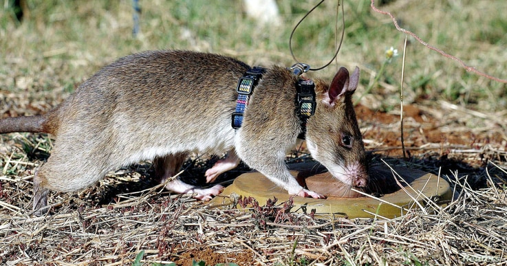 """FILE - A African giant pouched rat identifies a landmine during training in sniffing and detecting landmines at the Sokoine University landmine fields in Morogoro Tanzania, Sept. 16, 2004. The animals, which proved to be """"competent mine locators,"""" ar..."""