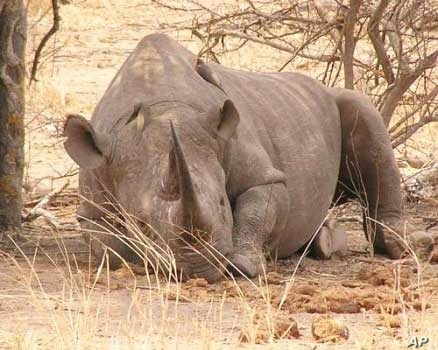 South African conservationists are saving the black rhino from extinction