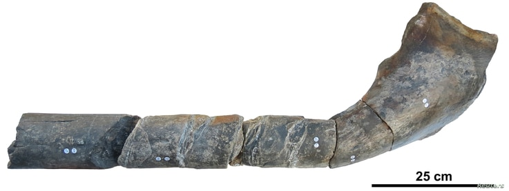 The jaw bone of a giant ichthyosaur found on an English beach is pictured in this undated handout photo obtained by Reuters, April 9, 2018.