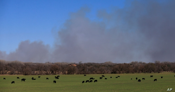 Cattle graze with a background of smoke from wildfires near Hutchinson, Kansas, March 7, 2017.