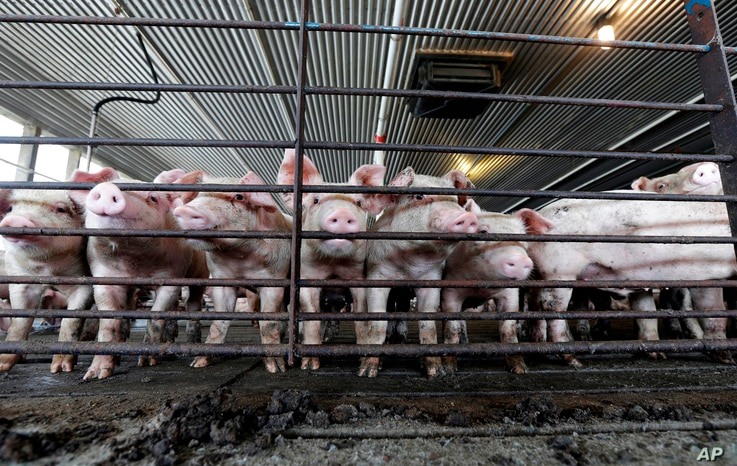 """FILE -Pork is one U.S. farm product that has fallen in value since a 62 percent Chinese tariff was imposed. """"Once that tariff went on, the pork stopped going into China. ... That market just disappeared,"""" said Brian Duncan, a farmer in Polo, Illi..."""