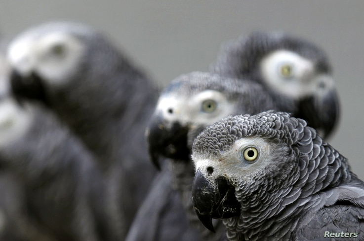 African grey parrots rescued from an illegal trader by Ugandan officials at the Uganda-Democratic Republic of Congo border crossing are seen at the Uganda Wildlife Education Centre in Entebbe, Jan. 12, 2011.
