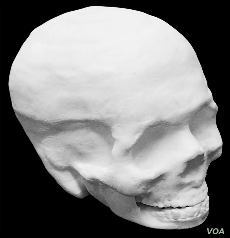 This photo shows a hyperelastic bone human skull. The interior of the skull is hollow. (Credit: Adam E. Jakus)