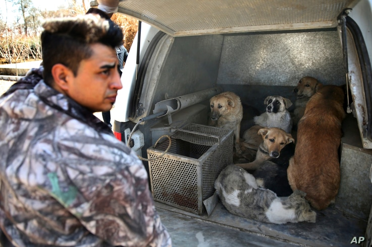 Stray dogs that have been caught are put inside the vehicle of Tehran's urban animal control after being shot with anesthetic darts on the outskirts of the capital Tehran, Iran, March 5, 2017.