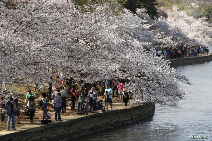 Visitors walk along the Tidal Basin to look at the cherry blossoms in Washington, March 24, 2016.