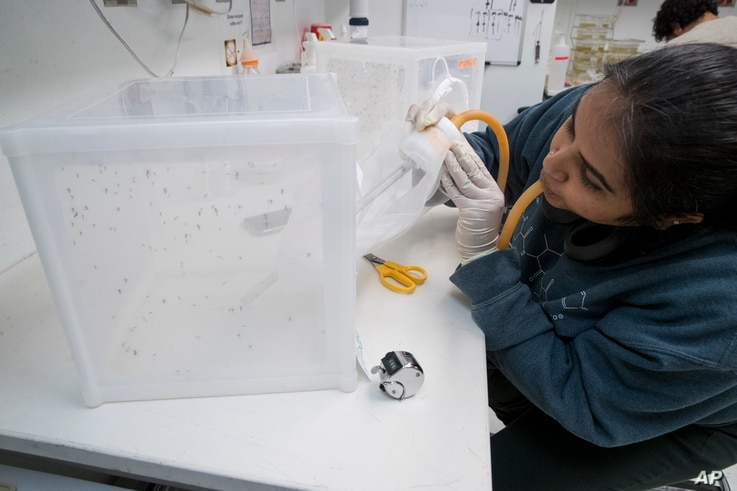 FILE - Ph.D. student Krithika Venkataraman mates mosquitoes by blowing males into a container housing females at the the Vosshall Laboratory of Rockefeller University in New York, Feb. 12, 2019.