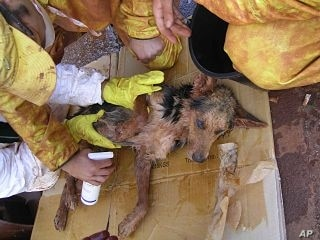 Rescue workers also save animals, including this dog who was several days in toxic sludge before being cleaned and sedated and brought to an animal doctor in Devecser, Hungary