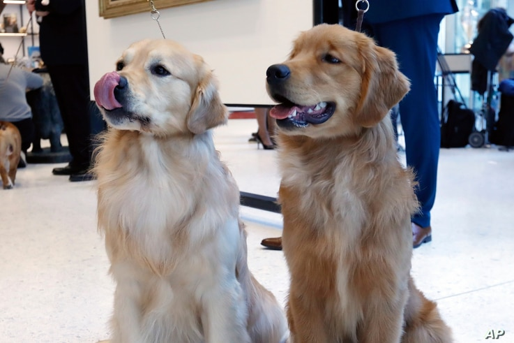 Golden retrievers Alistair, age 2 1/2, left, and Chuker, age 7 months, pose for photos at the Museum of the Dog, in New York, March 20, 2019.