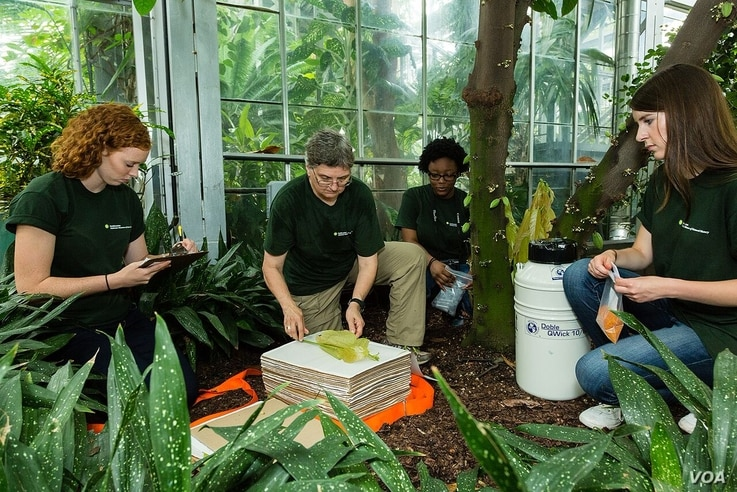 Smithsonian botanist Vicki Funk (2nd from left) and student team at the U.S. Botanic Garden prepare a specimen for the museum's herbarium, July 2015. (Credit: James Di Loreto/Smithsonian Institution)
